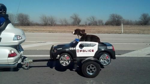 Cop Dog in a pet hauling motorcycle trailer